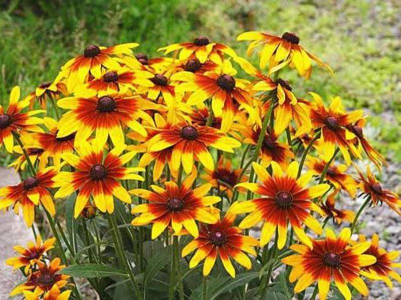 Цветы и описание рудбекия